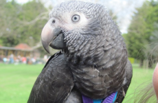 Fearless pet parrot saves owner from attacker during daily walk in park